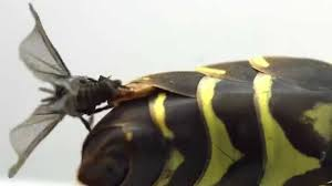 Image result for strepsiptera
