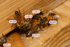 Image result for 西洋ミツバチと 日本ミツバチ画像