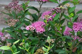 Spiraea japonica - Wikipedia