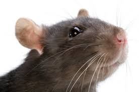 Rat on, honey…