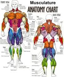 upper body muscle chart upper body muscle diagram anatomy human        upper body muscle chart body muscle diagram human anatomy diagram