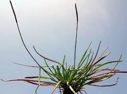 Plantago crassifolia Forssk. | Flora of Israel Online