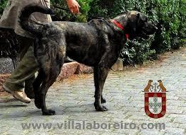 Resultado de imagem para cão castro laboreiro