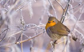 """Résultat de recherche d'images pour """"robin bird"""""""