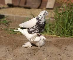 Image result for pigeons copulating