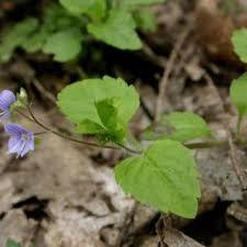 Veronica montana | Online Atlas of the British and Irish Flora