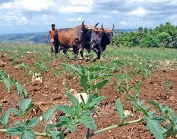 Resultado de imagen de fotos agricultura cubana