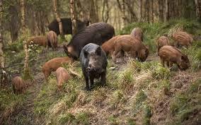 Risultati immagini per wild boar