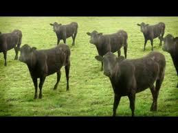 <b>cows</b> & <b>cows</b> & <b>cows</b> - YouTube