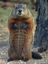 Image result for groundhog