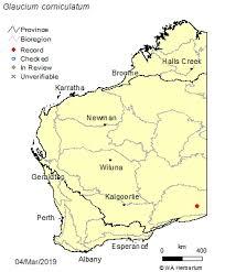 Glaucium corniculatum (L.) Rudolph: FloraBase: Flora of Western ...