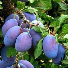 plum patio fruit tree