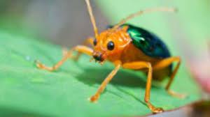 Bildergebnis für foto bombardierkäfer