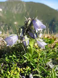 Campanula alpina — Wikipédia