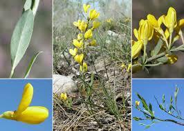 Cytisus pseudoprocumbens Markgr. - Sistema informativo sulla flora ...
