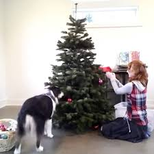 LADbible - Dog Helps <b>Decorate Tree</b> | Facebook