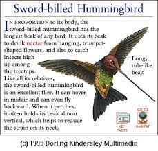 Image result for Sword-billed Hummingbird Ensiferaensifera