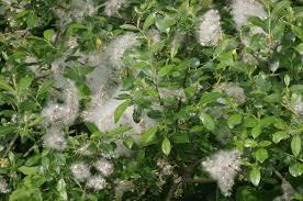 Salix myrsinifolia - Wikipedia