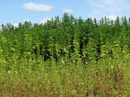 Image result for hemp