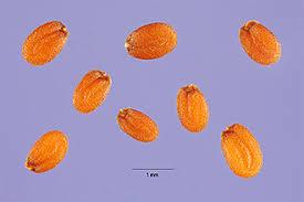 Plants Profile for Lepidium latifolium (broadleaved pepperweed)