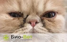 Частые причины <b>коричневых</b> выделений из глаз у кошек