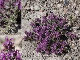 Flora de Aragón: Teucrium gnaphalodes