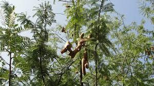 Tamarindenbaum