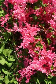 Pink Rose of Montana, Coral Vine - Butterfly Plants - Almost Eden