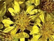 Solidago virgaurea L. | True Goldenrod | Plant Encyclopaedia | A ...