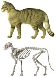 <b>Cat anatomy</b> - Wikipedia
