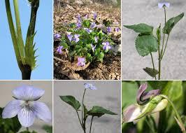 Viola canina L. - Sistema informativo sulla flora vascolare dei Colli ...