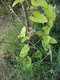 Dioscorea japonica