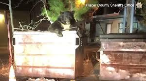 Video: Giant <b>bear</b> rescued from Kings Beach dumpster