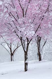 Image result for snow filled cherry tree