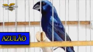 Azulão Canto Fibra para Encarte / Treinar / Canto para Muda ...