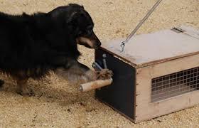 lobos aprenden de los perros