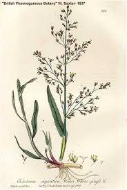 Online Virtual Flora of Wisconsin - Catabrosa aquatica