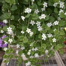Цветок <b>бакопа</b> ампельная — от семян до кашпо   садовые/<b>бакопа</b> ...
