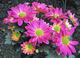 Image result for fall gardens with mums