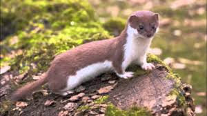 Image result for least weasel photo