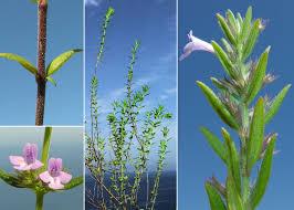 Micromeria graeca (L.) Benth. ex Rchb. subsp. graeca - Sistema ...