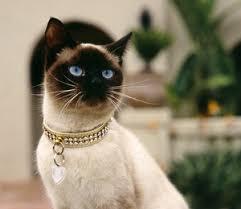 Resultado de imagem para gato siames