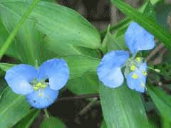 Commelina virginica Virginia Day-Flower PFAF Plant Database
