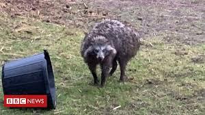 'Dangerous' <b>raccoon</b> dog escape prompts police warning - BBC News
