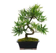 1000 ideas about bonsai trees for sale on pinterest bonsai bonsai shop and bonsai trees add bonsai office interior