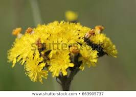 Yellow Field Flower Hieracium Sylvaticum On Stock Photo (Edit Now ...