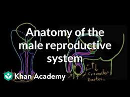 medical human male reproductive organ structure model genitourinary system gift urology testicle training