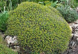 Euphorbia spinosa, flora di Sardegna
