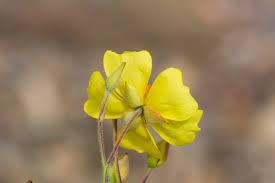 Helianthemum scoparium Calflora