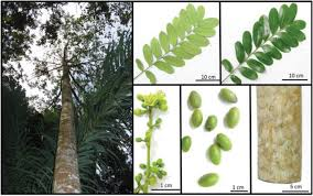 Simaroubaceae family: botany, chemical composition and biological ...